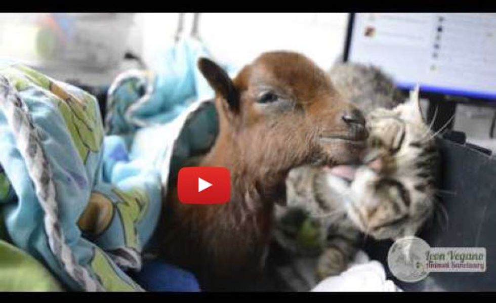 Rescued Tabby Cat Helps Care and Nurse Baby Goat Back to Health