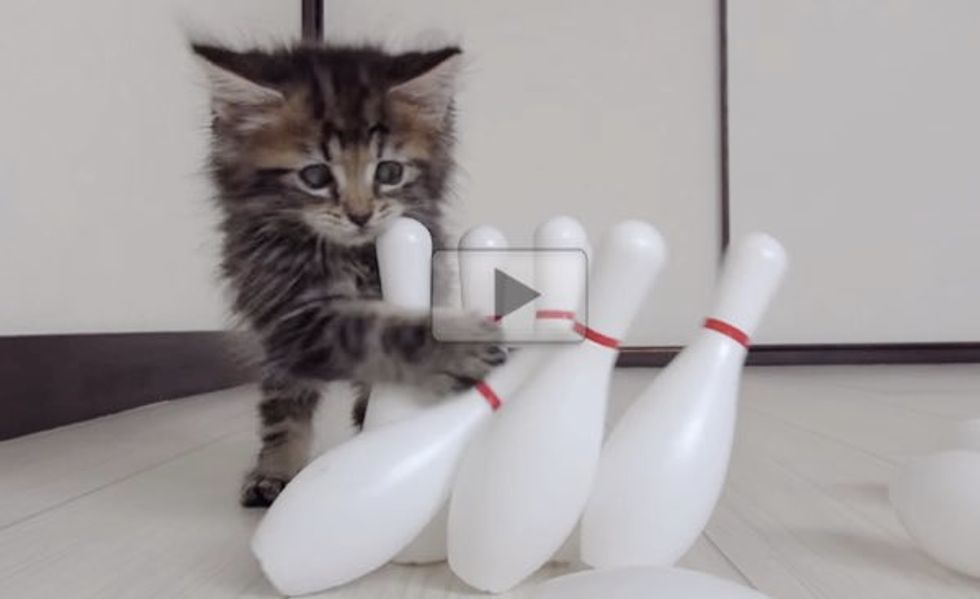 I Have Never Seen a Kitty Enjoy Bowling Quite Like This!