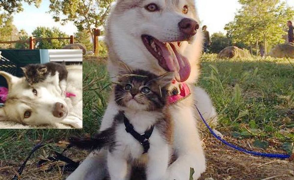 Husky Dog Mothers Rescue Kitten and Raises Her Like a Pup