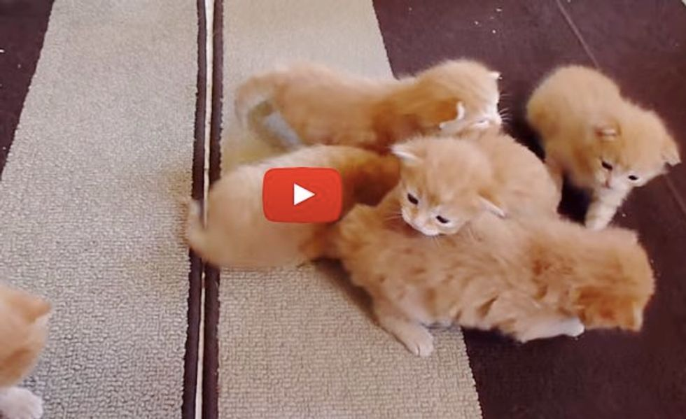 Six Ginger Foster Kittens Learning to Walk. That's a Lot of Furry Wobblers!