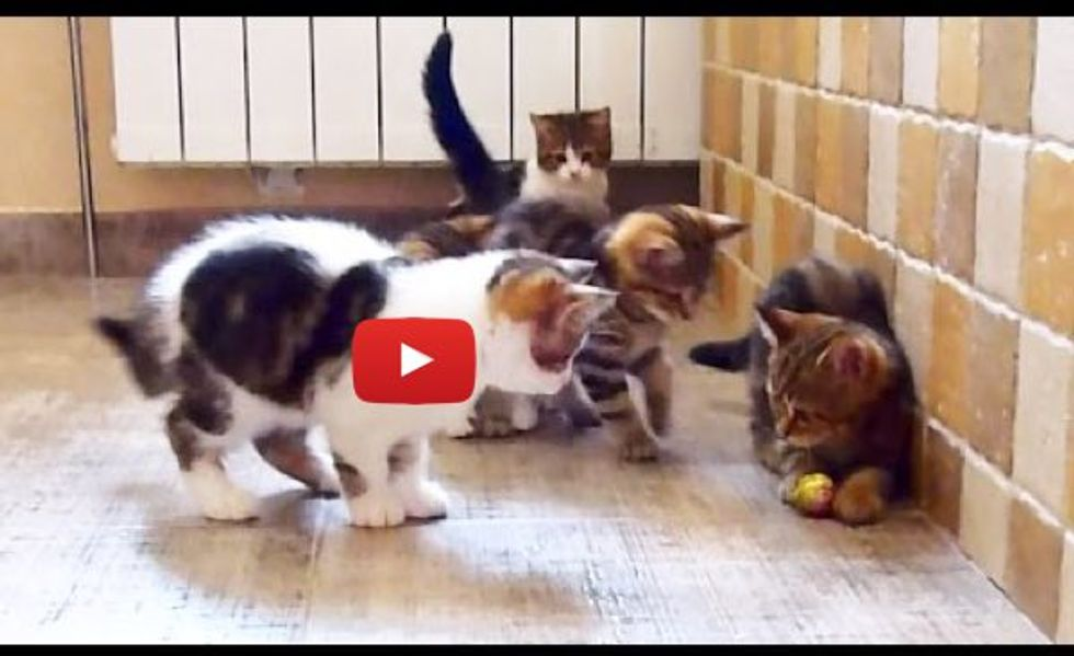 Five Kittens Trying to Share a Ball, But One Thinks Otherwise...