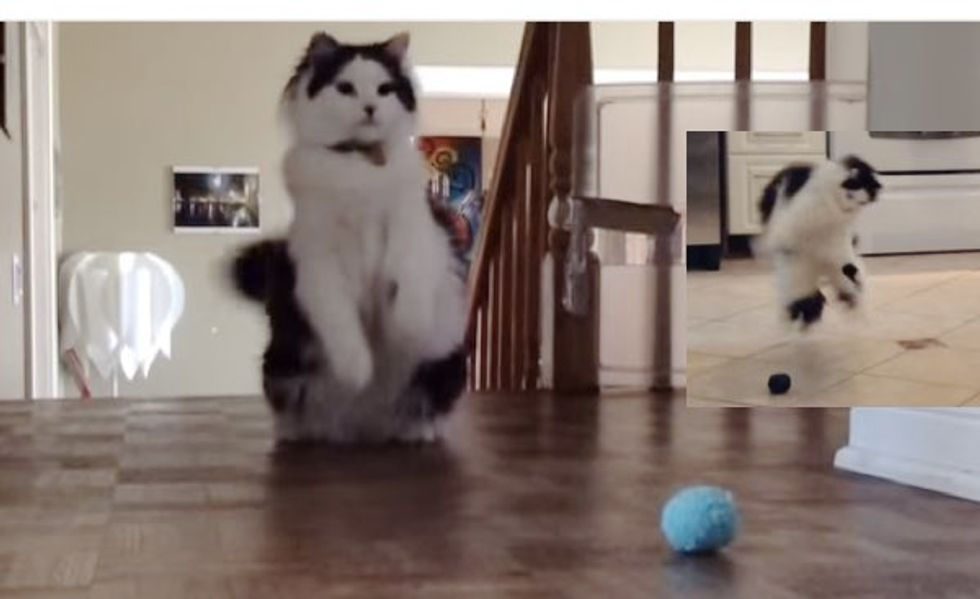 When Oreo the Cat Plays Ball, He Dances to It!