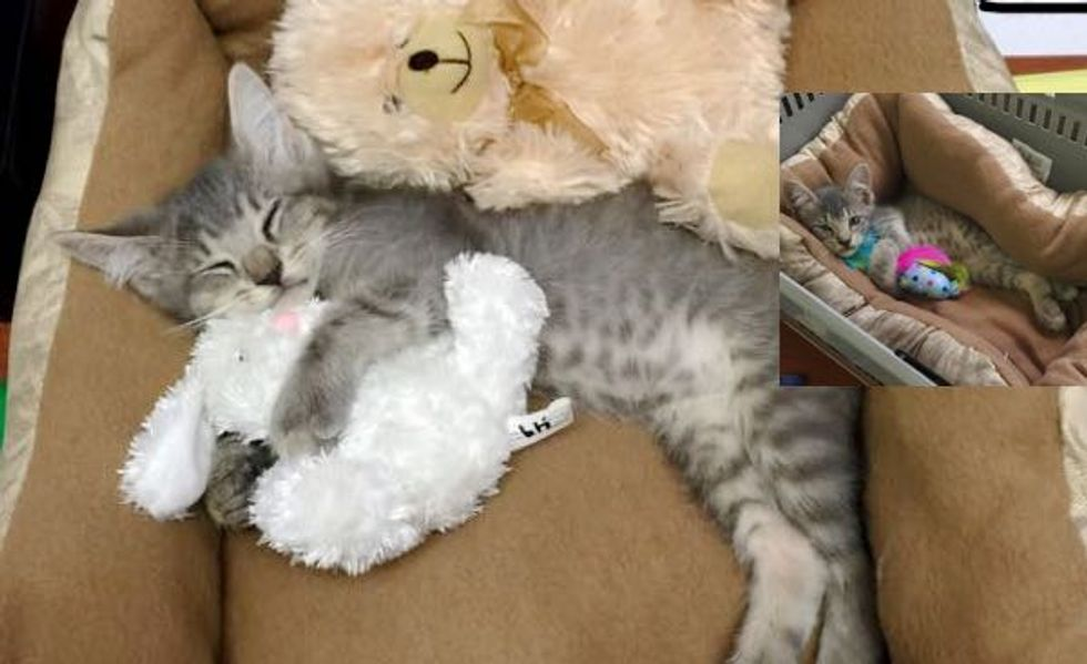 Little Gray Kitten Strays into the Hearts of Office Employees. Now He's Living the Dream!