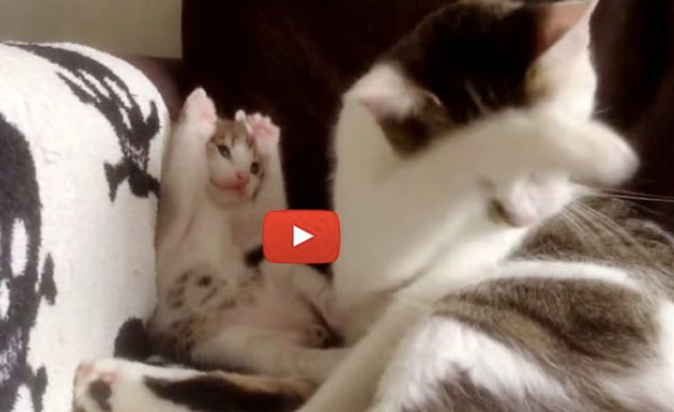 Kitten Imitating Momma Cat Learning to Groom Himself