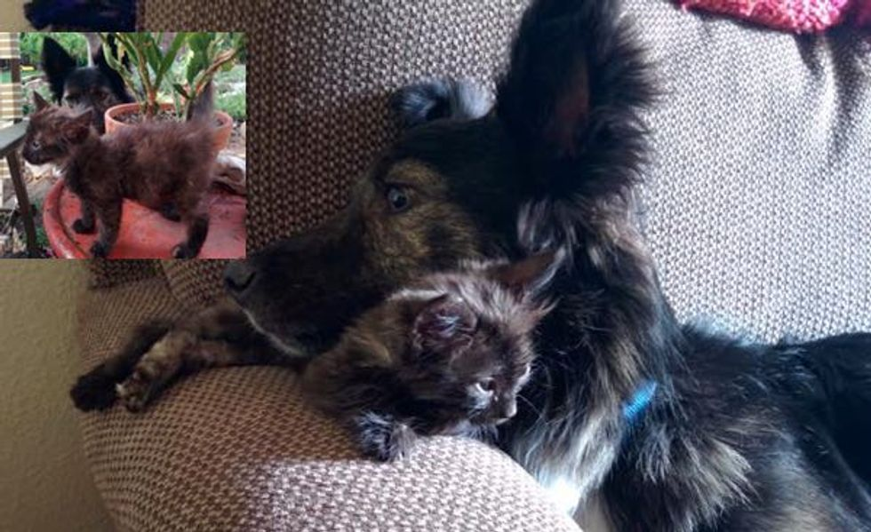 When They Started Fostering This Kitten, Their Dog Became Attached!