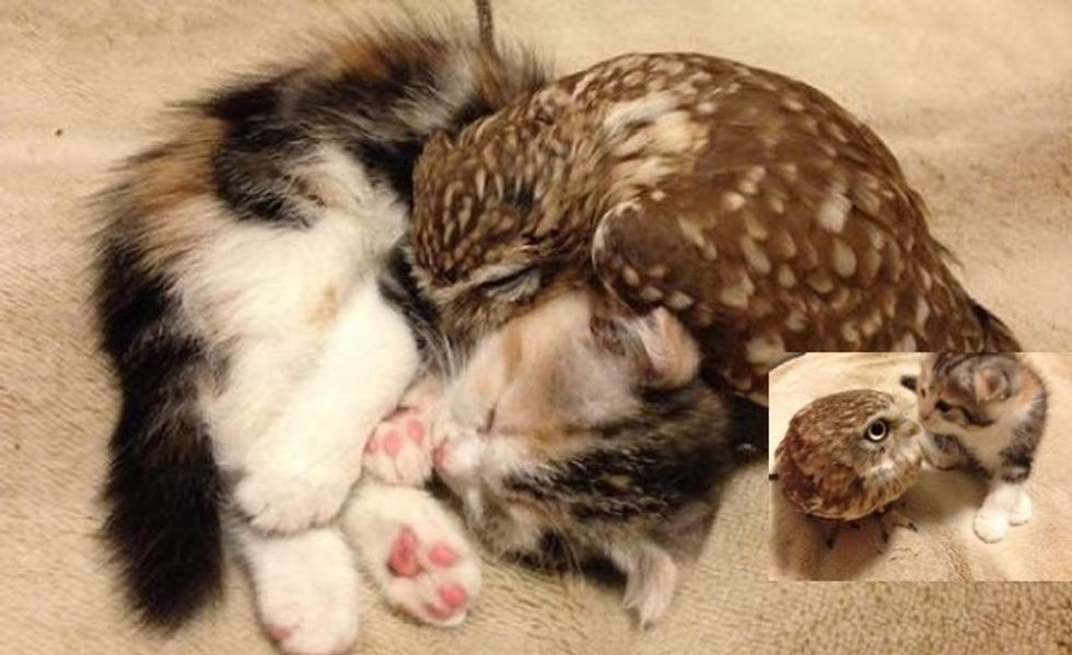 Kitten and Owl Become Best Friends