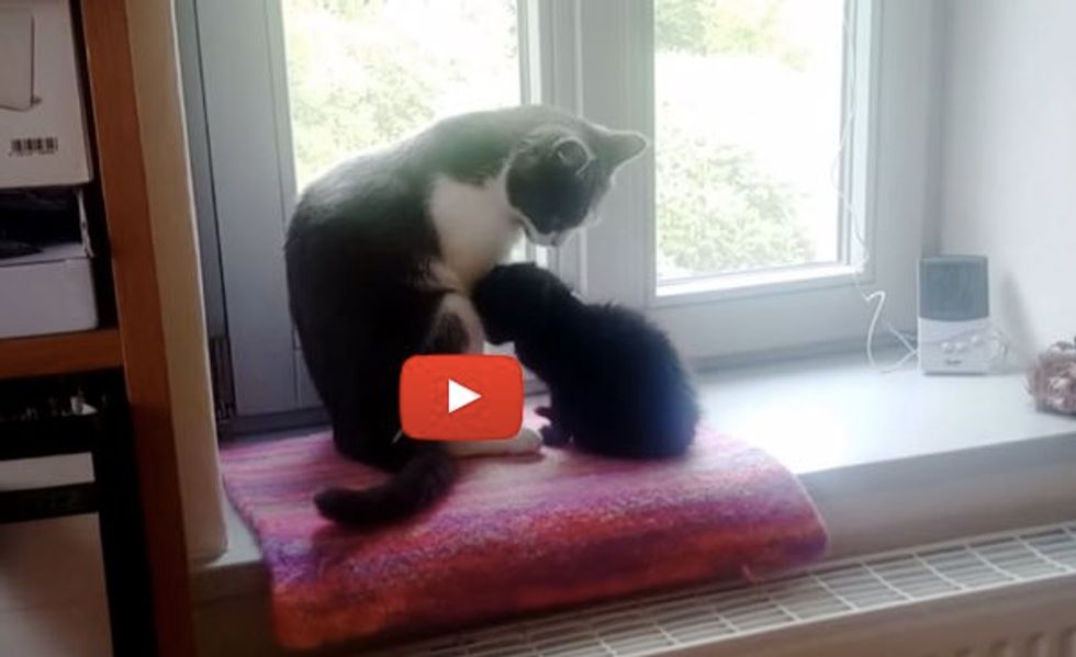 Adopted Kitten Bonding with Family Cat