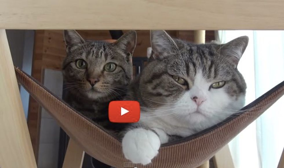 Two Kitties Share a Hammock with a Surprise at the End