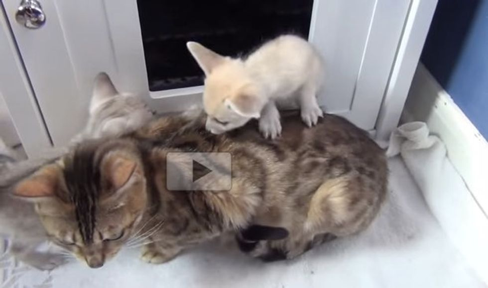 Two Fox Babies Adopted by Mama Cat Growing Up with Kitten 'Siblings'