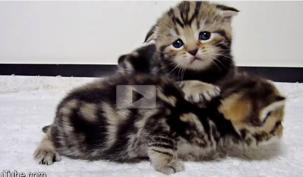 Kittens Wobble Their Way to Mama for Food But One is Late..
