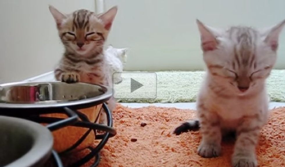 Kittens Fall Asleep by the Dishes While Sitting Up