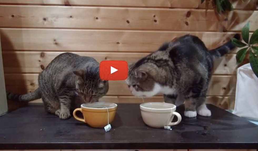 It's Catnip Teatime, Maru Goes Face Dipping