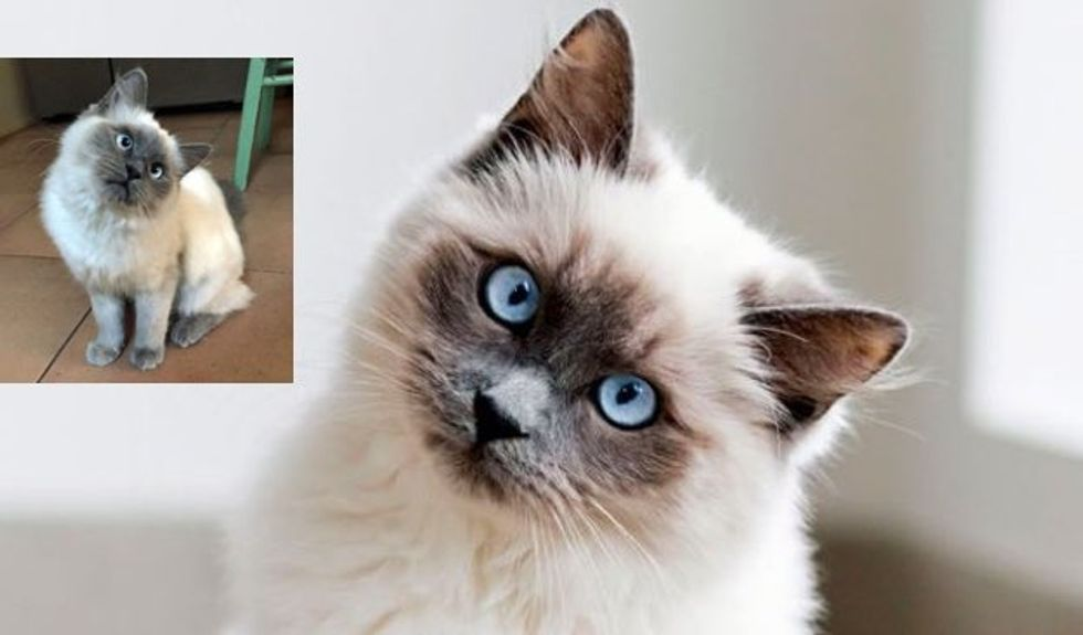 Rescue Ragdoll Kitty Has a Constant Head Tilt. She's Truly Adorable.