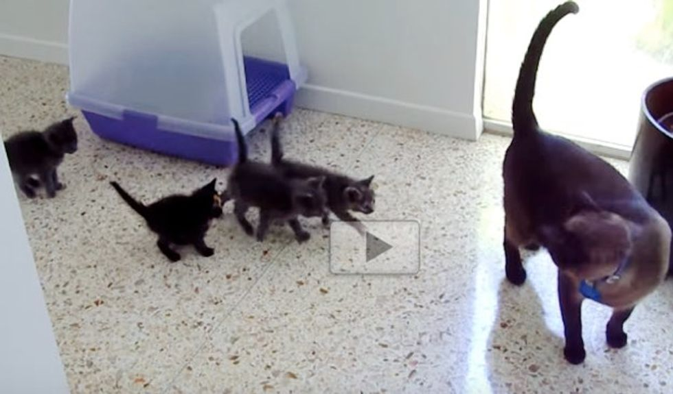 Orphan Kittens Think Male Siamese Cat is Their 'Mom'