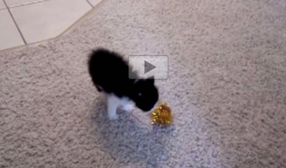 Teeny Fluffy Kitten Shows Fuzzy Ball Who's the Boss