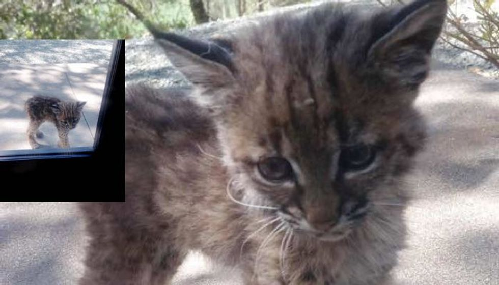 They Got a Surprise Visitor, a Tiny Baby Bobcat