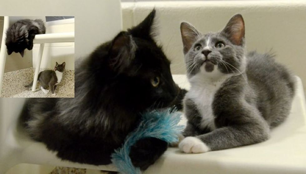 Shelter Cat Becomes Seeing Eyes for Blind Kitten. They are Waiting for a Loving Home