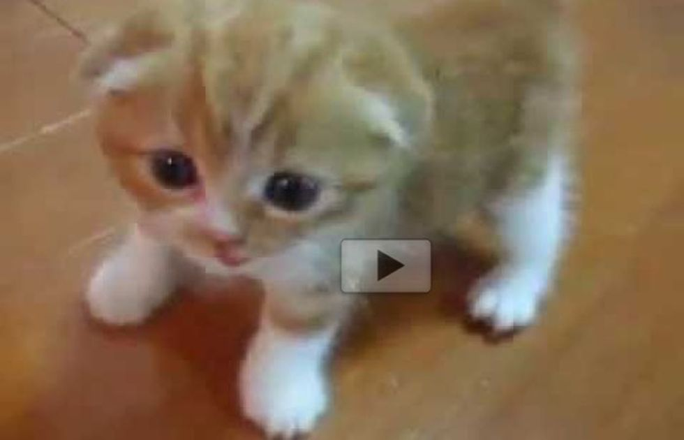 Ginger Kitten Following His Human Around While Exploring His House