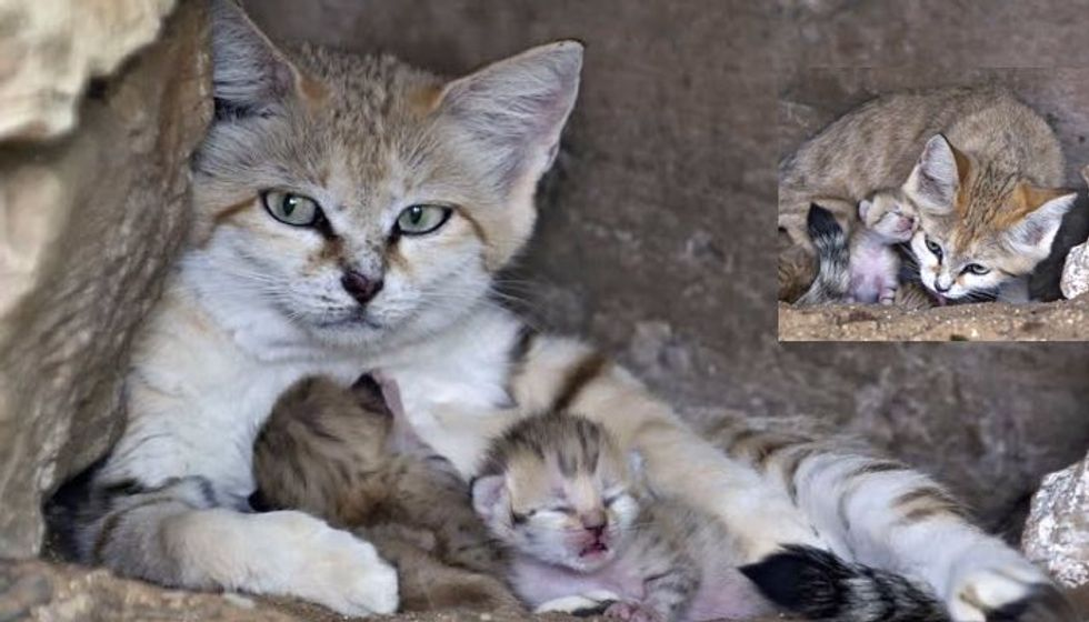 Rare Sand Cat Who Lost Her Mate Surprises Everyone with a Special Delivery