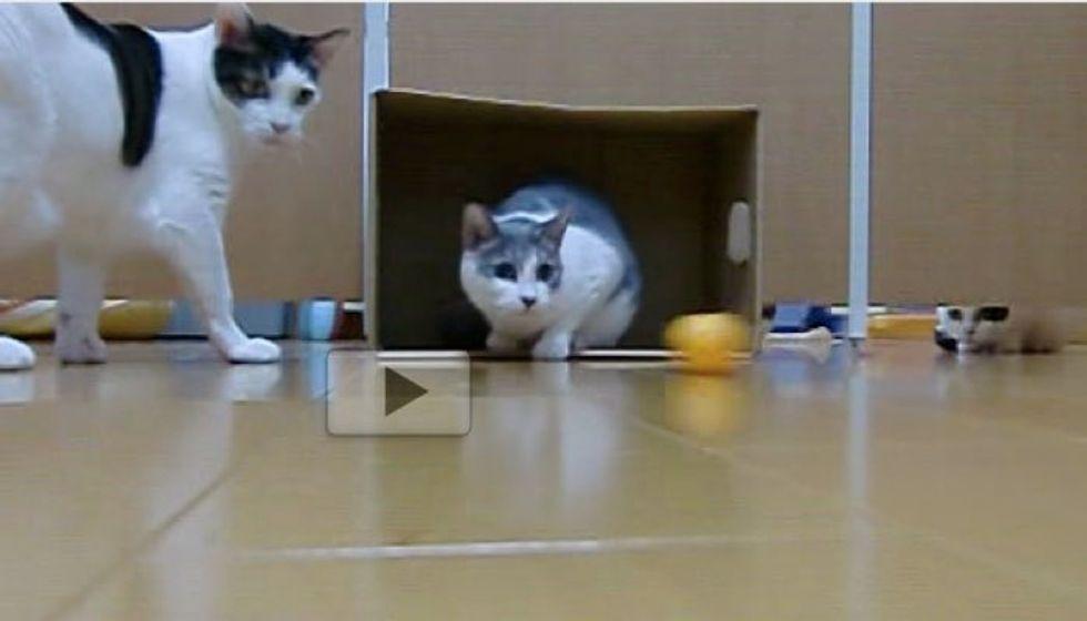 Kitties Turn Box and Pingpong Ball into Feline Soccer