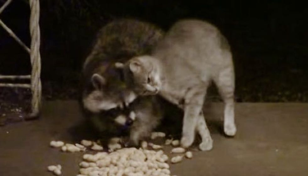 Feral Kitty Adores Raccoon So Much He Can't Stop the Snuggles
