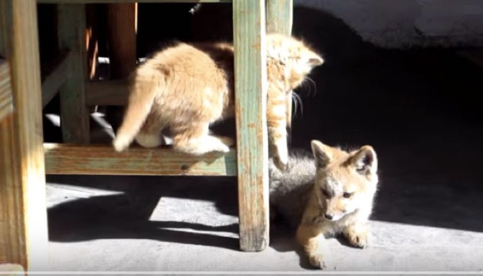Ginger Kitten Bonds with Fox Cub, Cutest Playfighting