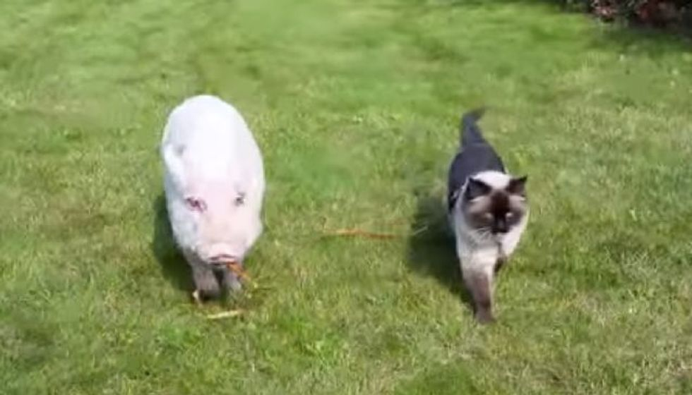 Cat Takes a Walk with His Pig Buddy and Even Pets Him to Sleep