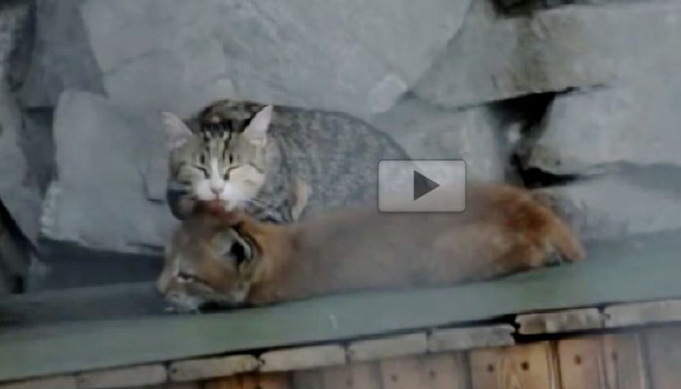 Cat Adopts Baby Lynx Rejected by Her Mother