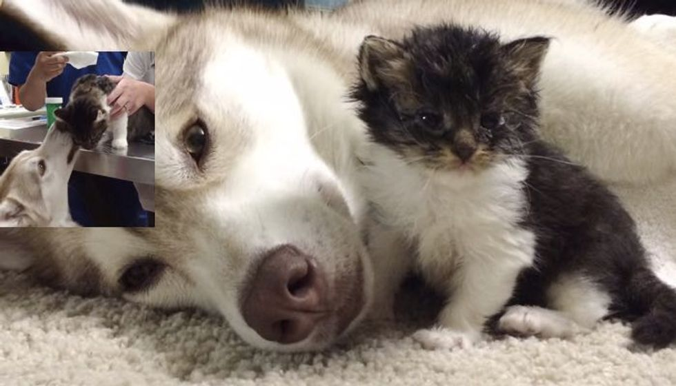 Dog Comforts Her Adopted Kitten at the Vet's and Gives Her Kisses After