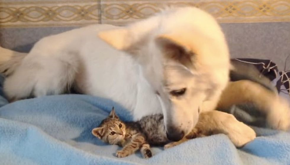 Stray Kitten Showed Up at Doorsteps Found an Unexpected New Dad..