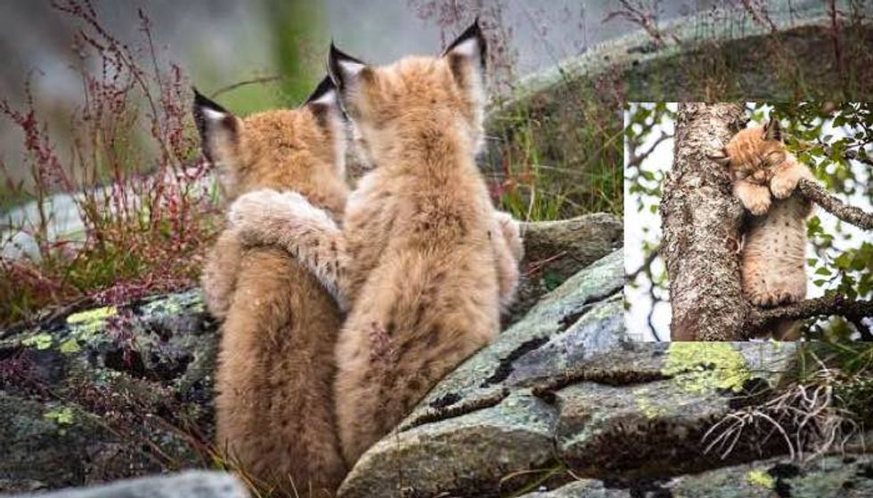 Beautiful Moment Lynx Kitten Puts a Wise Paw on the Shoulder of Its Sibling