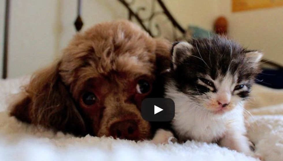Orphaned Kitten Adopted by Poodle Who was Raised by Cats