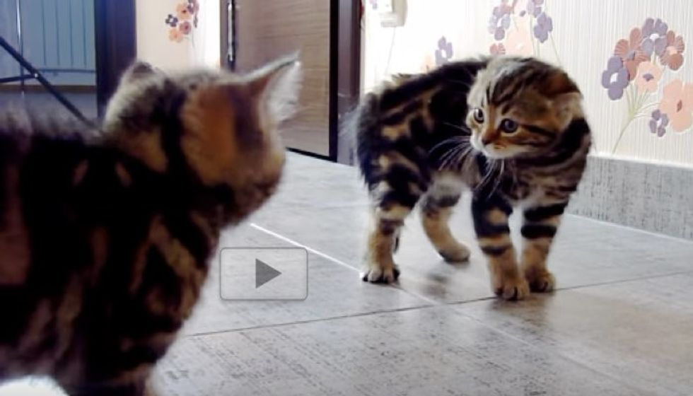 Kittens Wrestle it Out with Their Supurr Ninja Moves