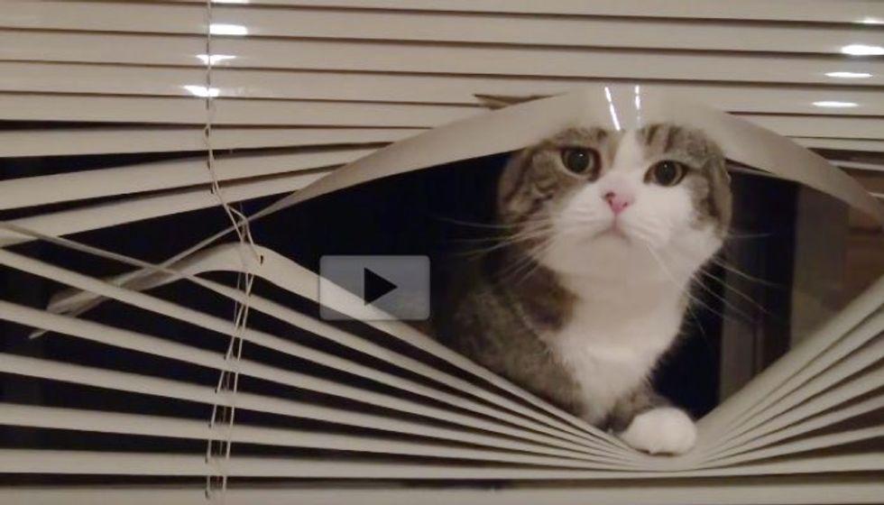 Maruchan Playing Window Blind Peekaboo with His Human