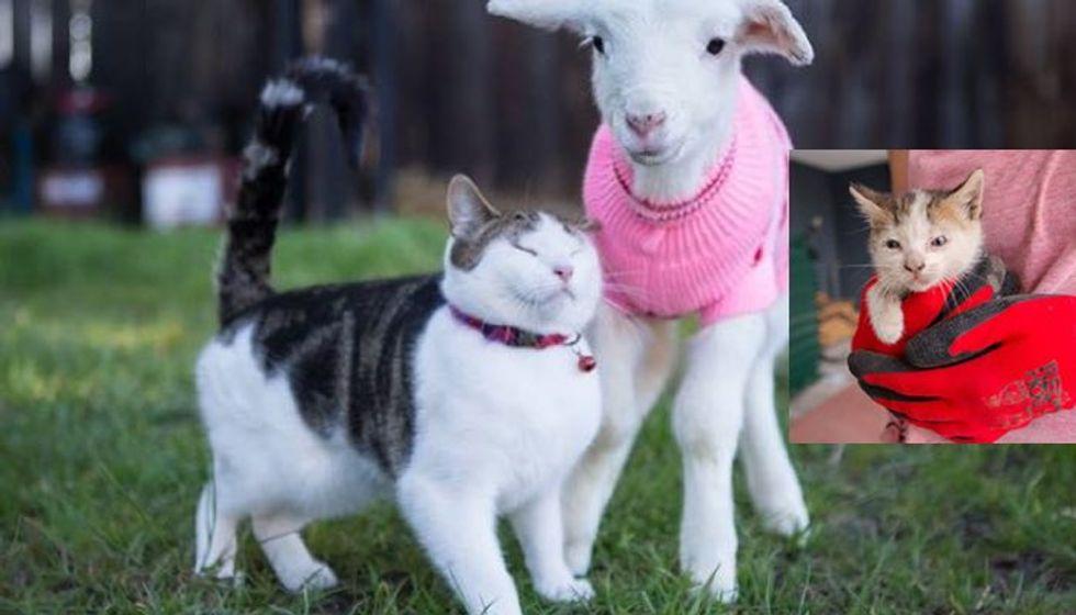 Stitch the Rescue Kitten Becomes Vet Nurse for Rescue Farm Animals