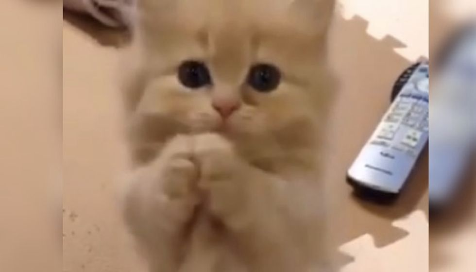 Kitten Trying to Get Your Heart Melted. You Can't Resist!
