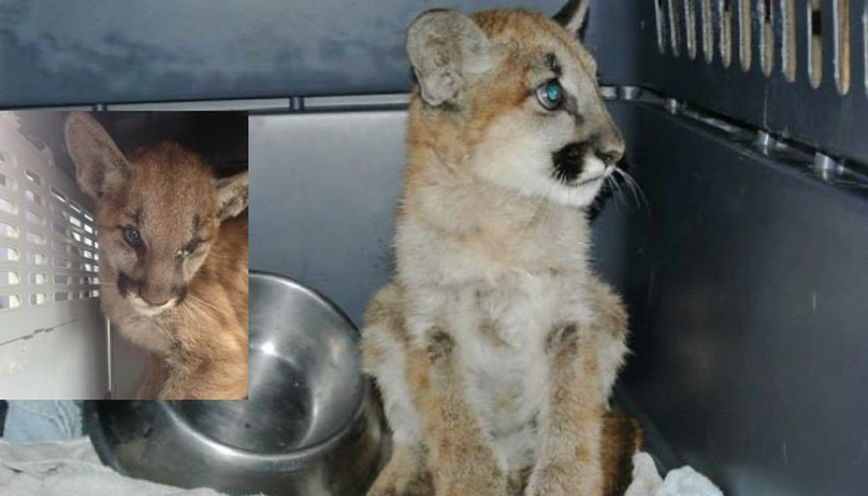 Young Mountain Lion Caught Up in Wildfires Fought for Its Life. Look at the Kitten Now!