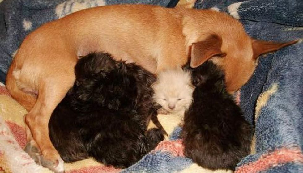 Dog Mama Lost Her Only Puppy, Takes in Five Orphan Kittens as Her Own