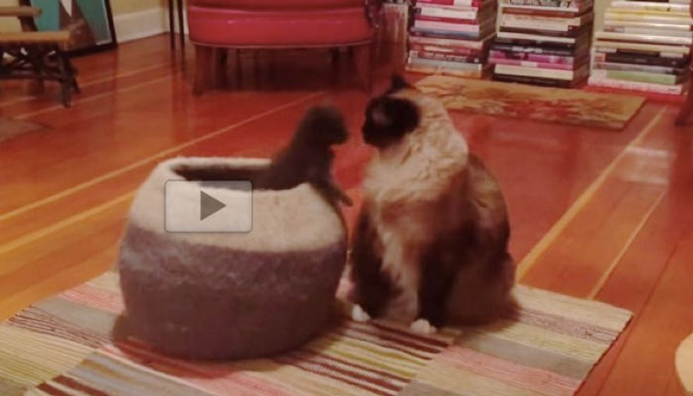 Prankster Foster Kittens Try to Surprise the Big Kitties