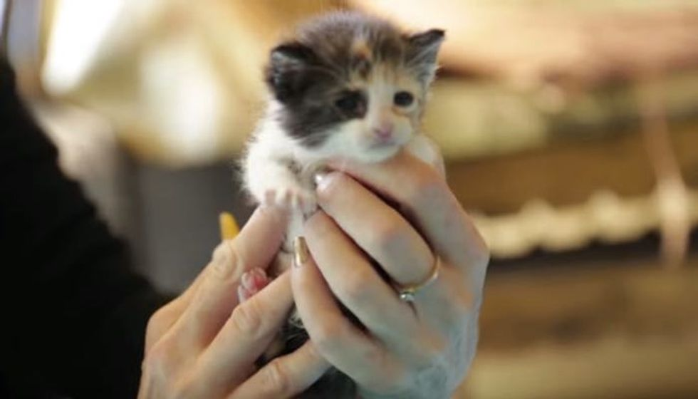 Little Calico Baby Learning to Eat at Foster Home for the First Time