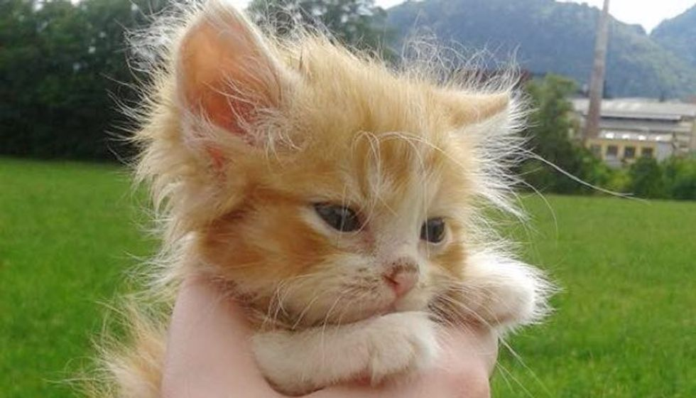 Tiny Ginger Kitten Found in Woods Without a Mom, Now Two Years Later.
