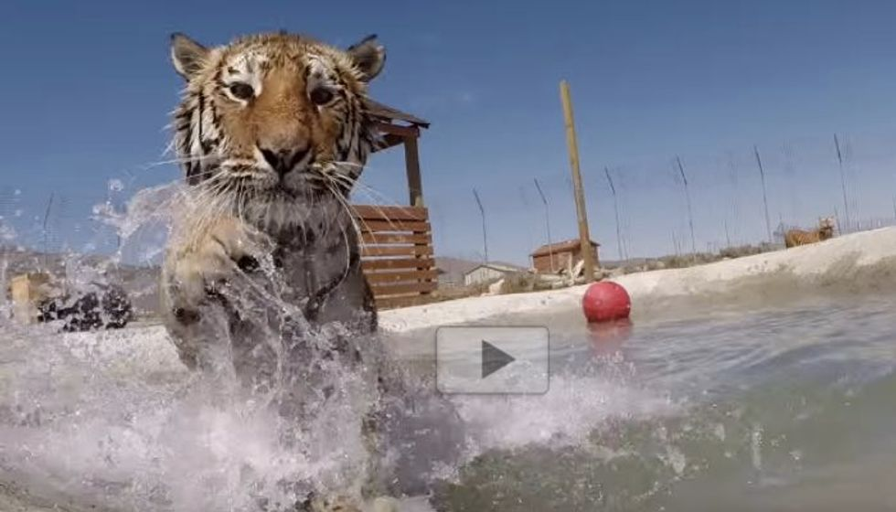 Rescue Big Cats Swim in Water for the First Time. The Joy!