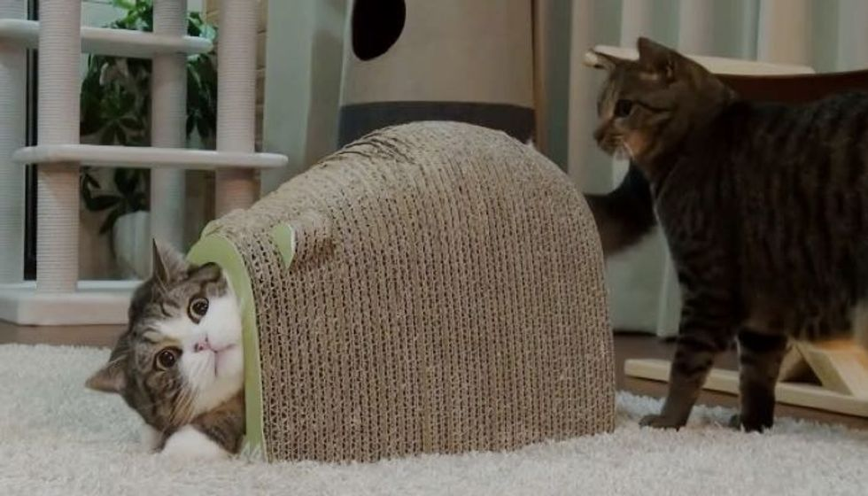 Maru Defending His Fort Mouse