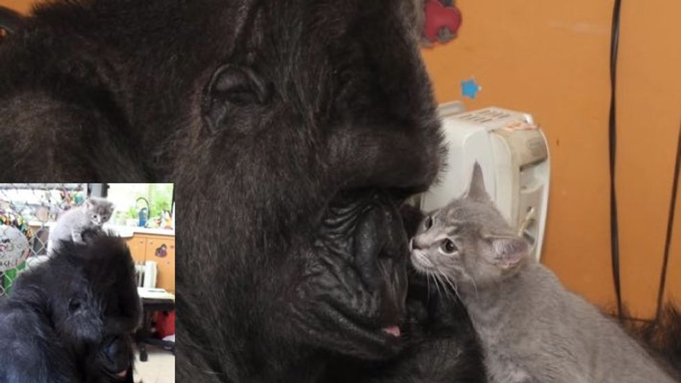 At 44, Koko the Gorilla Becomes Mom to Two Kittens