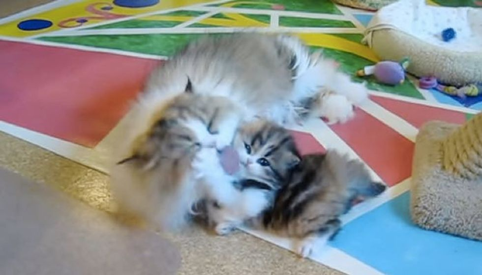 Kitten Getting a Vigorous Bath from Momma Whether She Likes it or Not