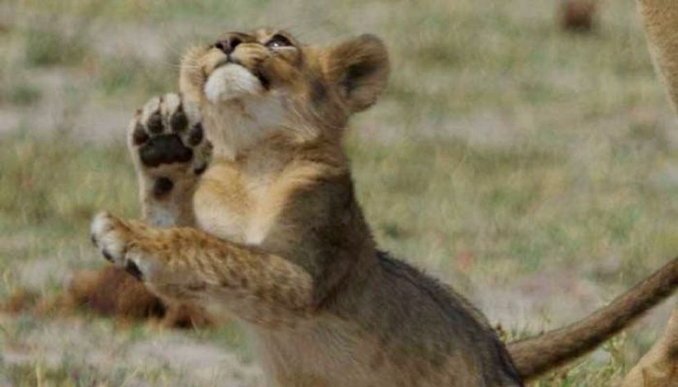 Grandcubs of Cecil the Lion Bring New Hope