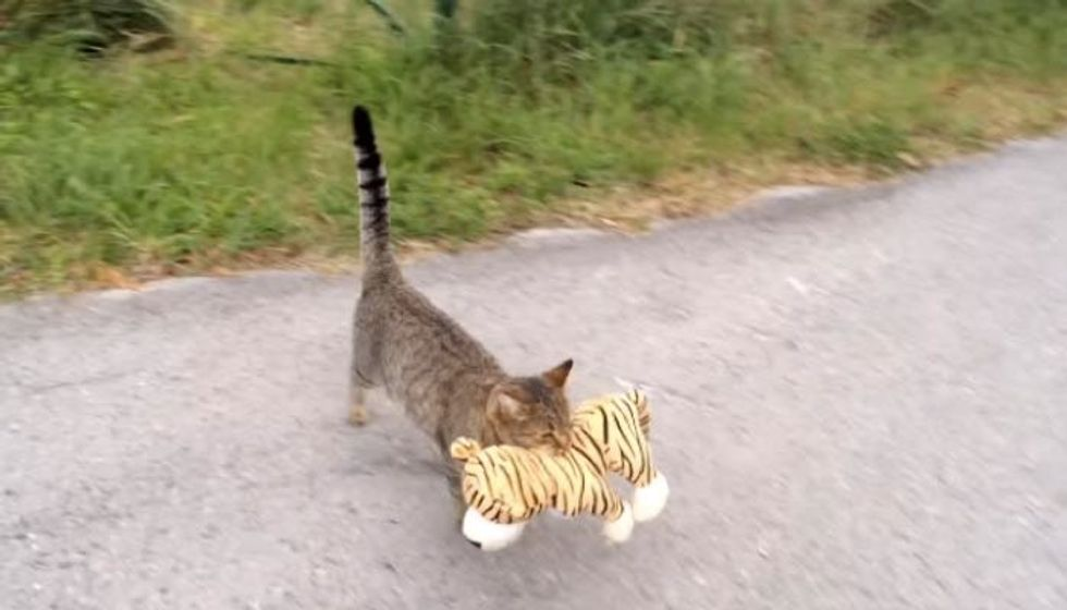 Tabby Cat 'Borrows' Next Door Neighbor's Tiger Toy