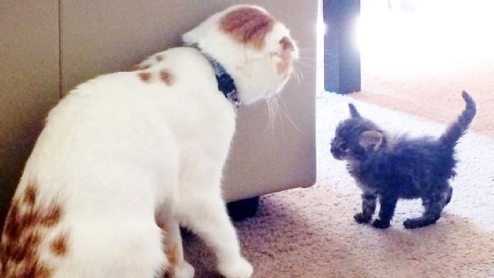 Scottish Fold Cat Takes in Scrappy Rescue Kitten and Becomes Her Foster Dad