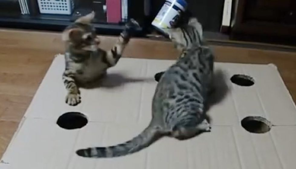 Two Kitties Having a Blast with Holey Box! I Can Watch this All Day!