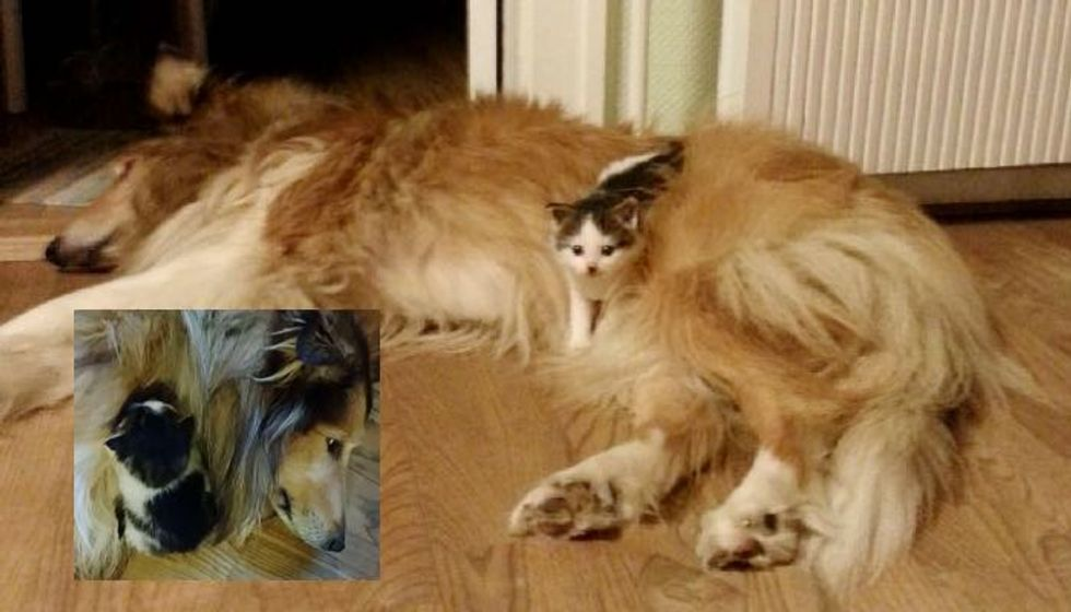 Abandoned Kitten Crying for Mom Until He Meets Big Fluffy Collie...